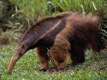 medium_anteater1.jpg
